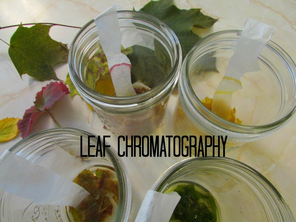 leaf chromatography- autumn nature science