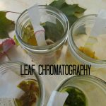 Why Leaves Change Color: Leaf Chromatography