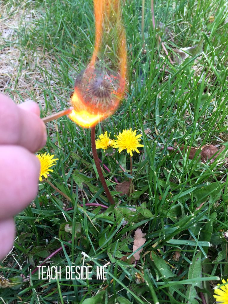 burning dandelion experiment