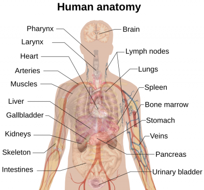 play dough human anatomy - teach beside me, Human Body