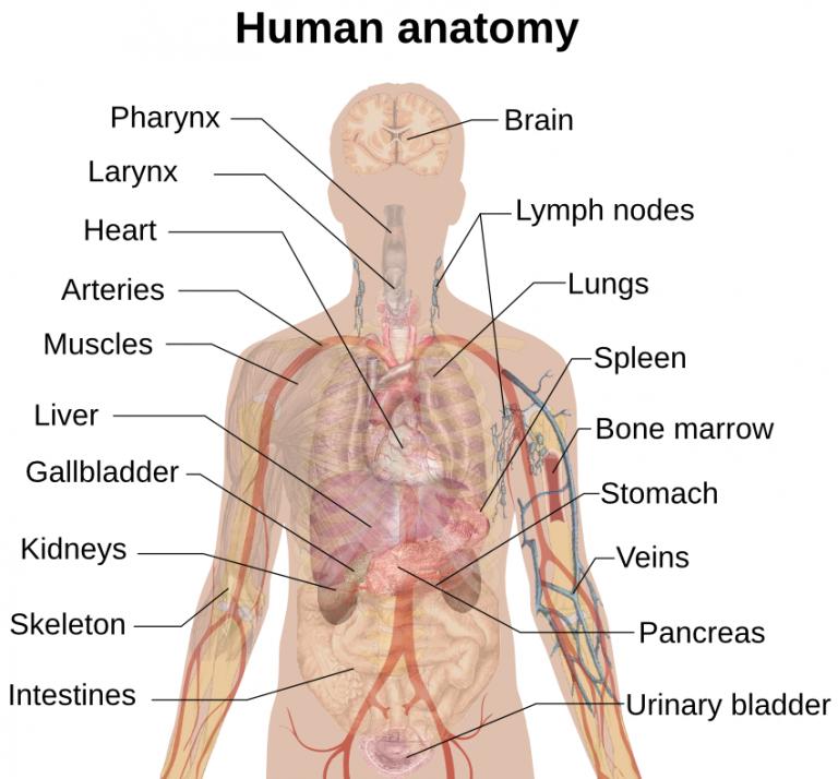 Human anatomy back view organs