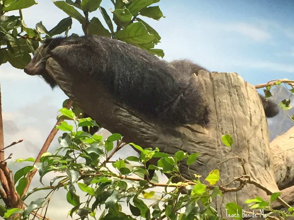 Binturong - Asian Animal at the aquarium