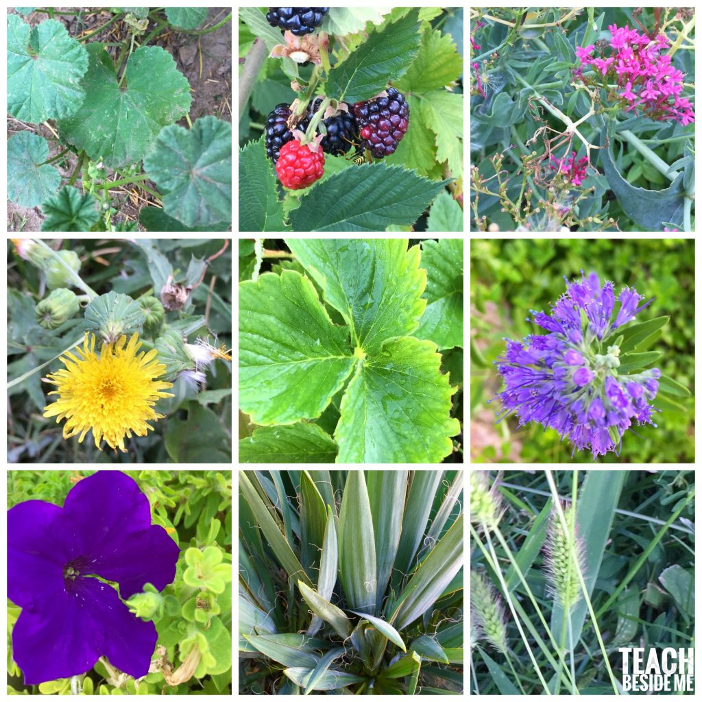 Nature Study with kids- identify plants with app