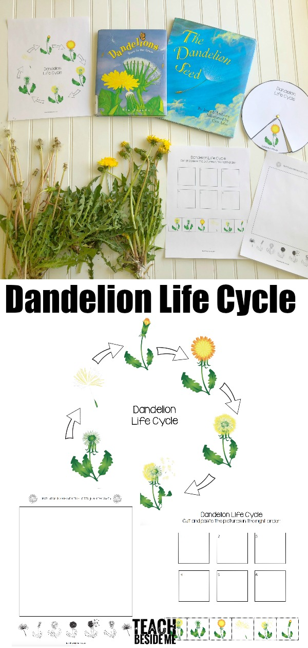 Dandelion Life Cycle Teaching Activities