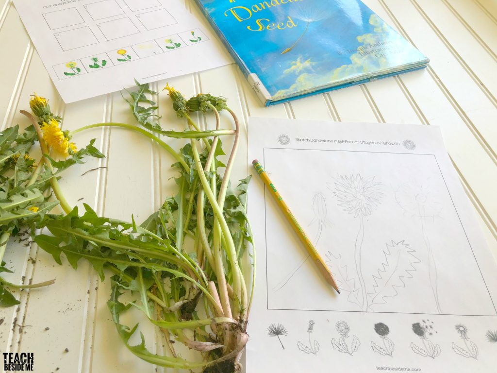 dandelion wildflower nature study